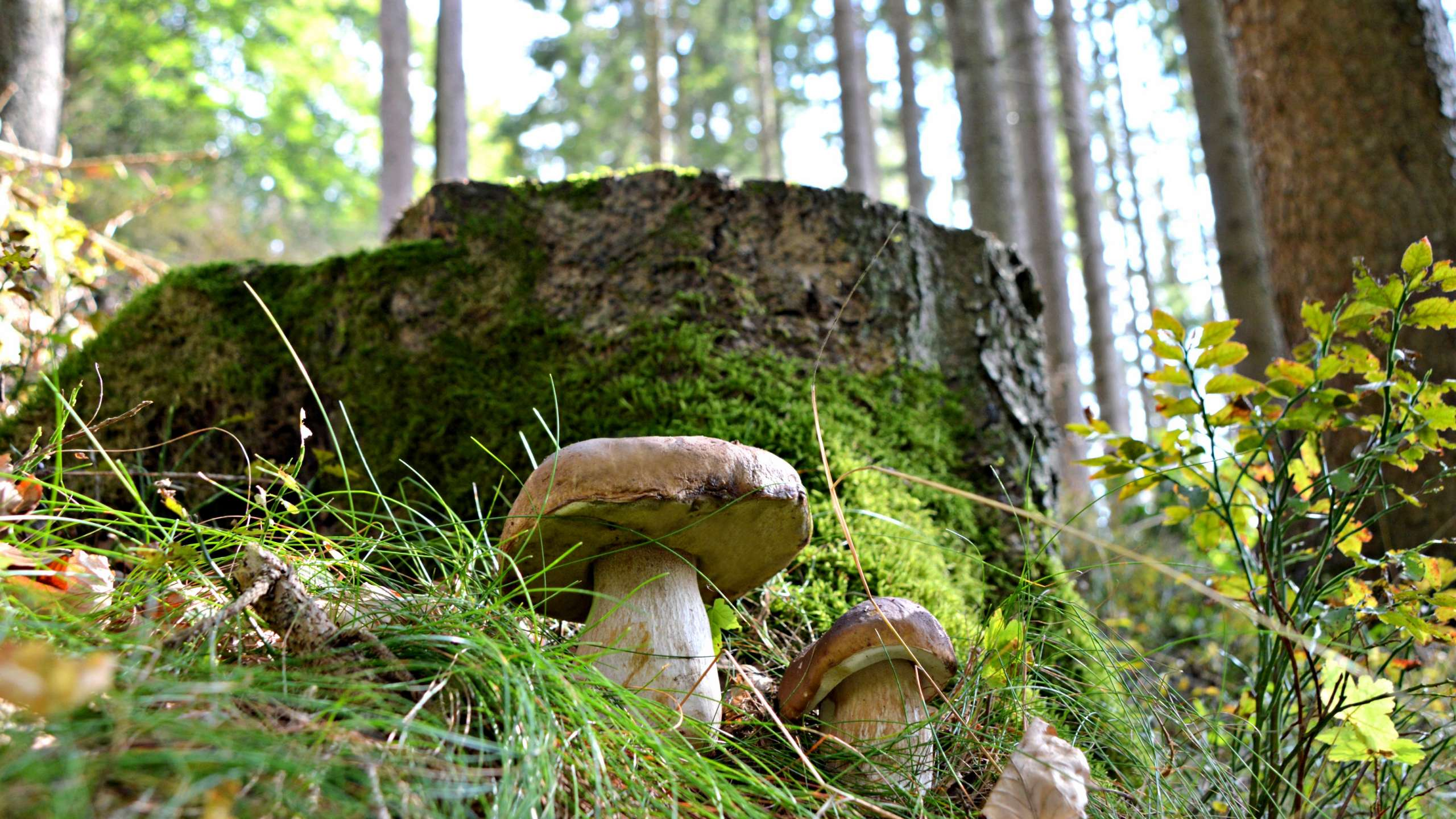 Traube Tonbach - Mushrooms in the Black Forest
